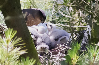 Cooper's Hawk feeding it's chicks, #2
